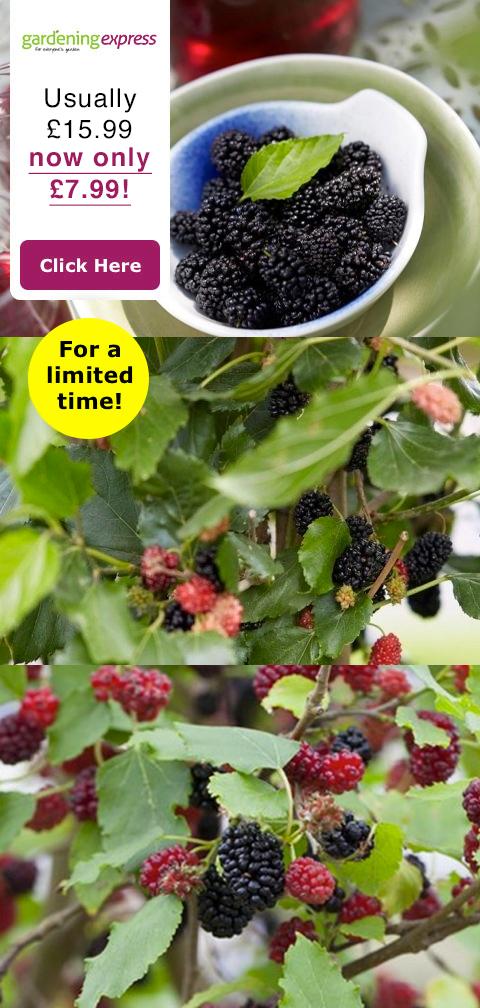 gardening-express-mojo-berry